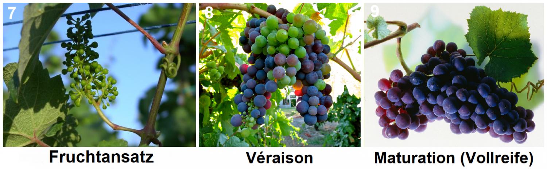 Fruit base, Véraison, Maturation