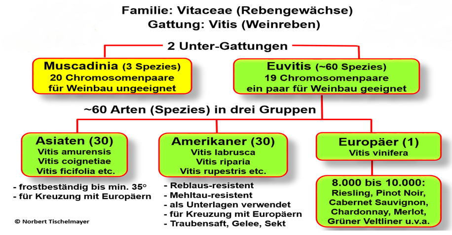 Family Tree Vine Systematics
