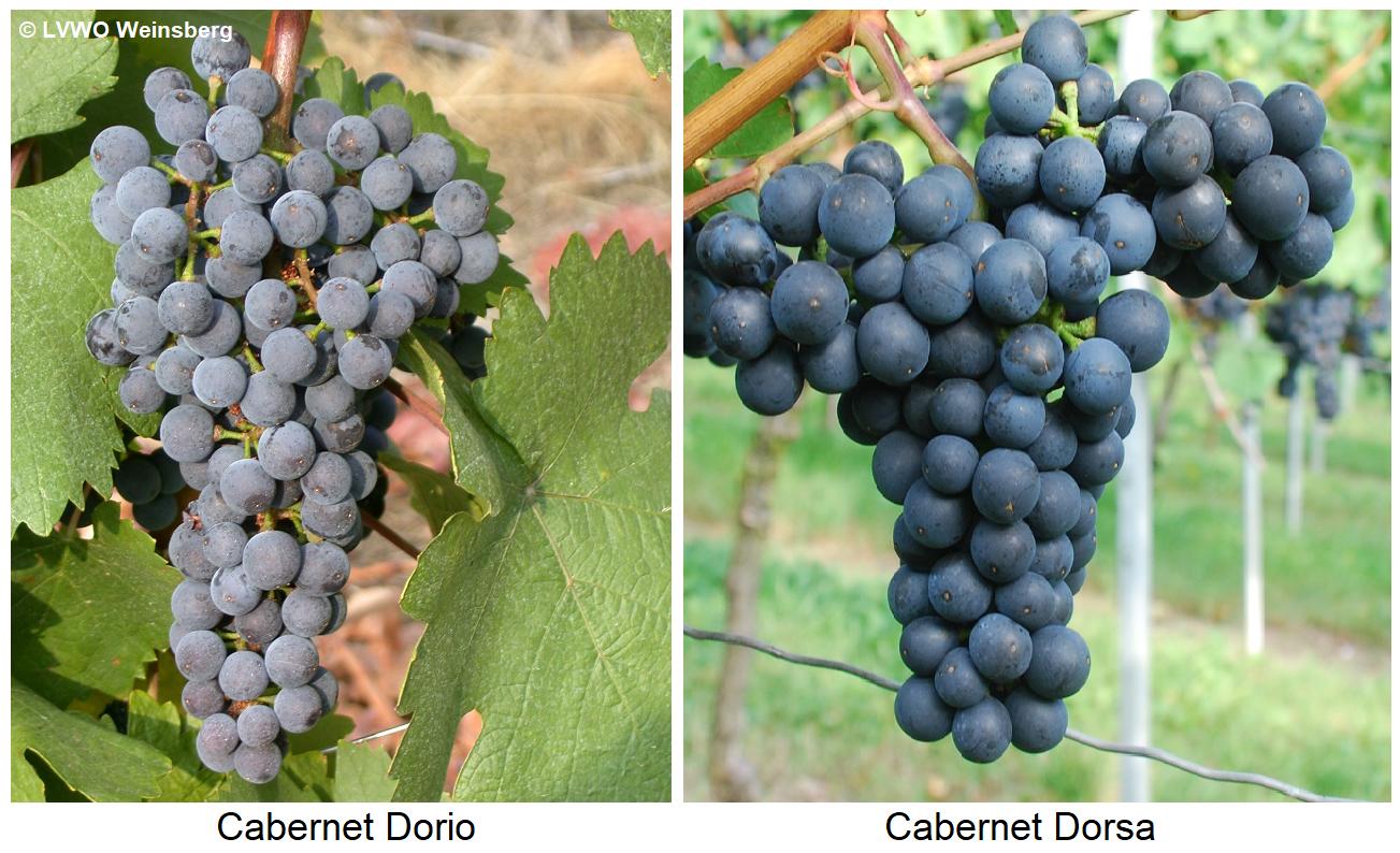 Grapes Cabernet Dorio and Cabernet Dorsa