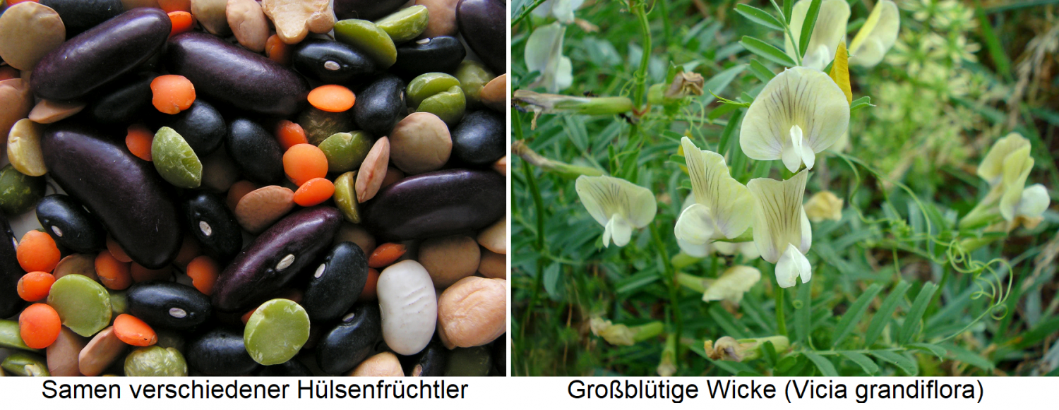 Seeds from various legumes / Large-flowered vetch (Vicia grandiflora)