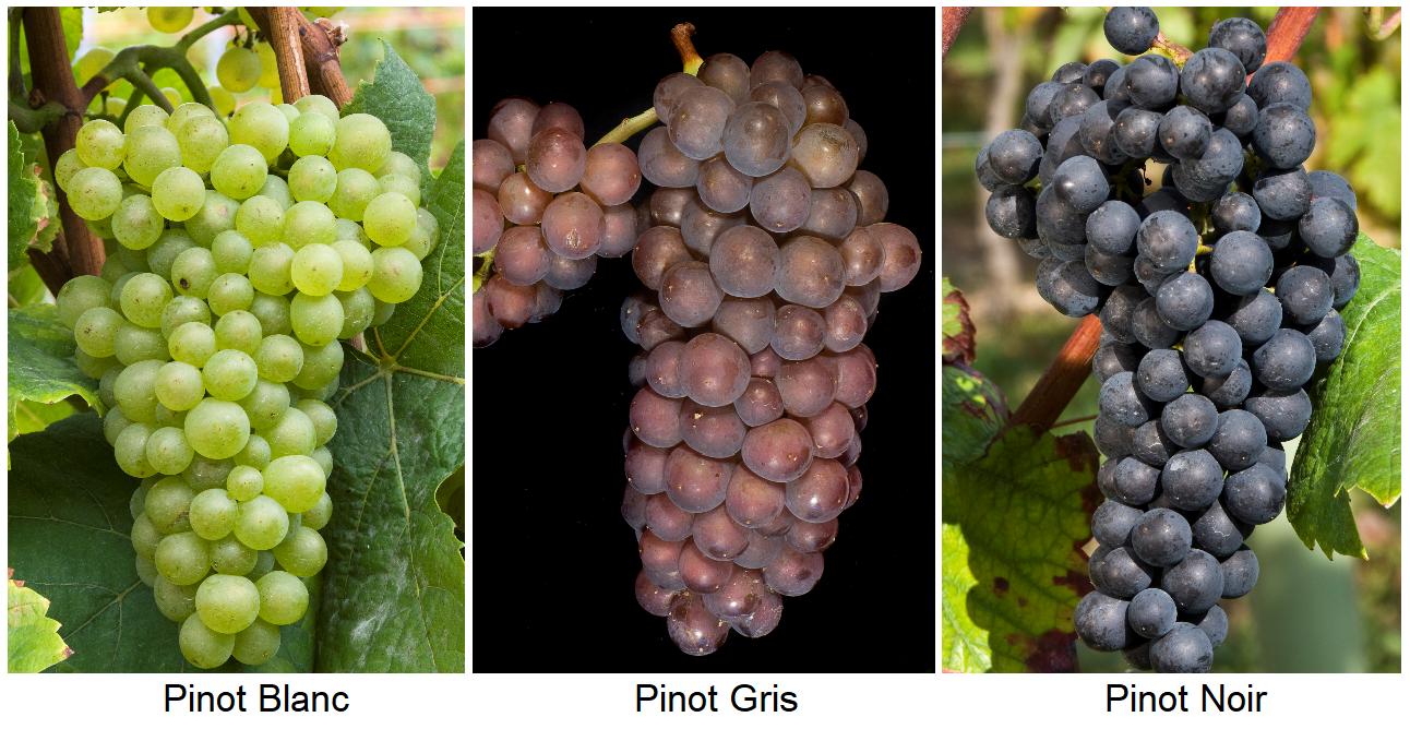 Pinot Blanc, Pinot Gris, Pinot Noir