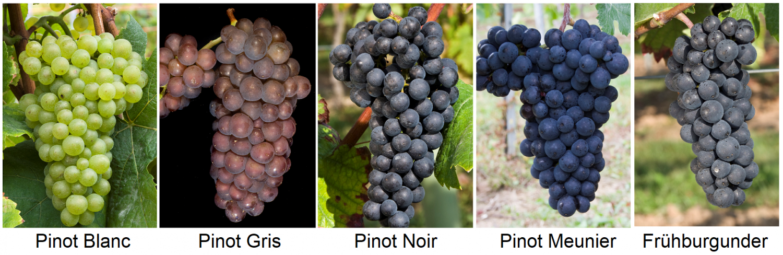 Pinot varieties - Pino Blanc, Pinot Gris, Pinot Noir, Pinot Meunier, Pinot Noir