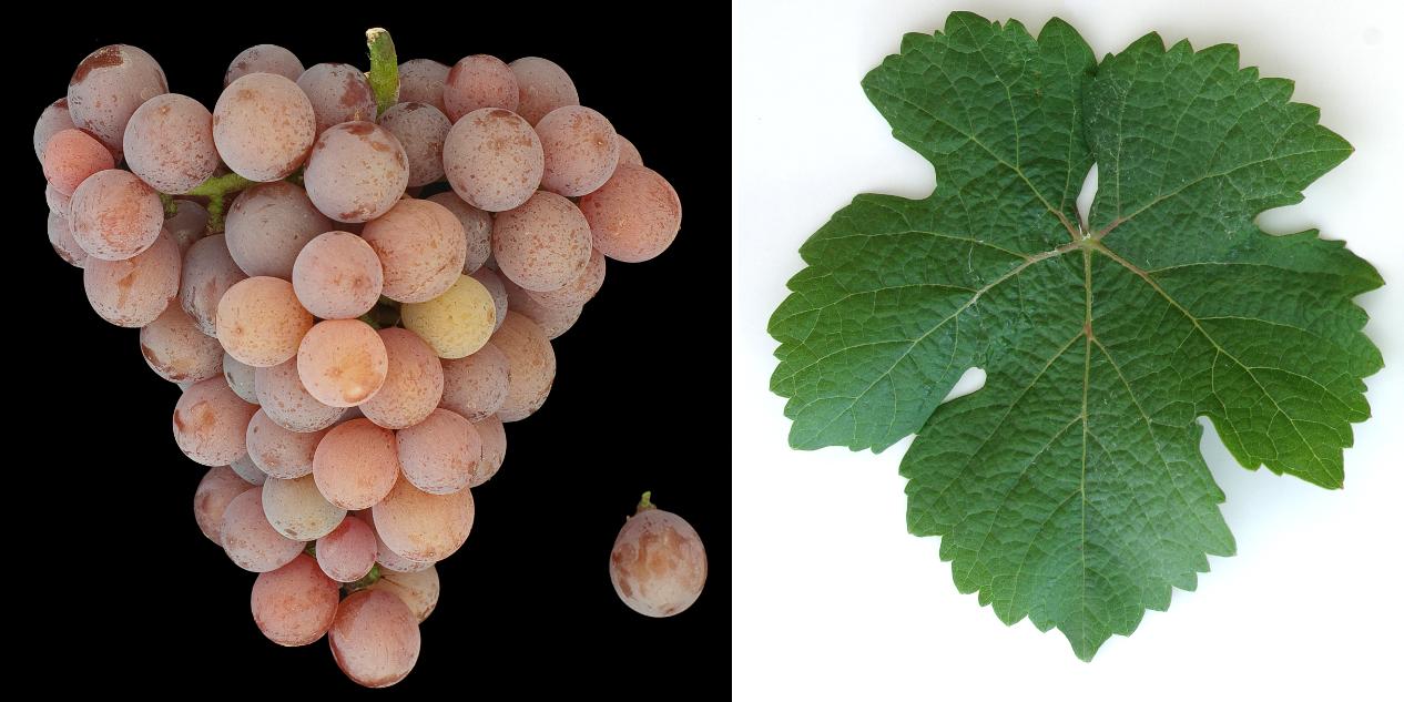 Gewürztraminer - grape and leaf
