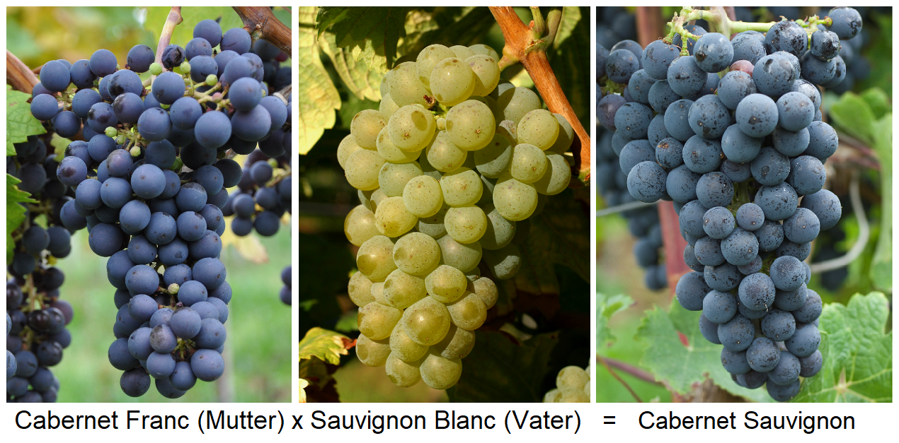 Cabernet Franc (mother) x Sauvignon Blanc (father) = Cabernet Sauvignon