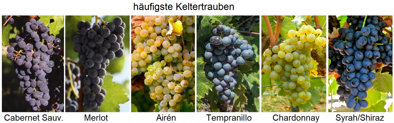 Grape varieties - six most common types of dairy - Cabernet Sauvignon, Merlot, Airén, Tempranillo, Chardonnay, Syrah / Shiraz