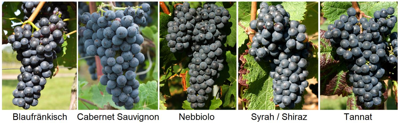Tannin-rich grape varieties: Blaufränkisch, Cabernet Sauvignon, Nebbiolo, Syrah, Tannat