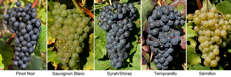 Cépages nobles - Pinot Noir, Sauvignon Blanc, Syrah / Shiraz, Tempranillo, Semillon
