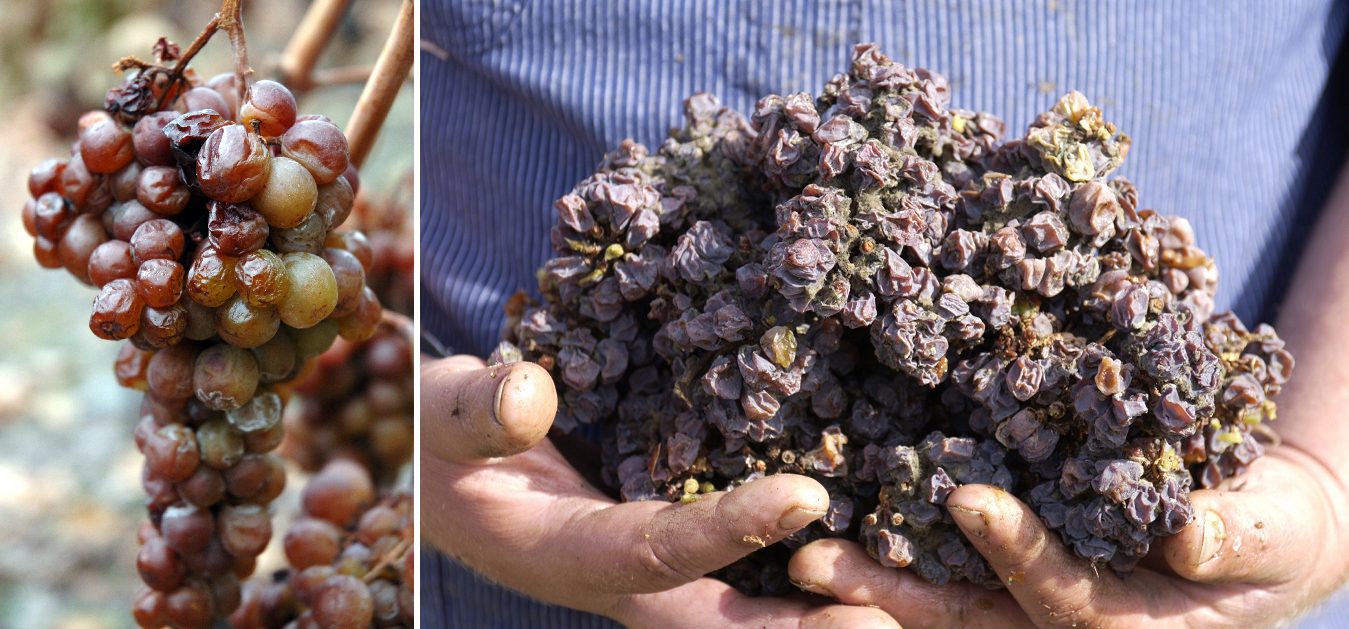 dried wine grapes