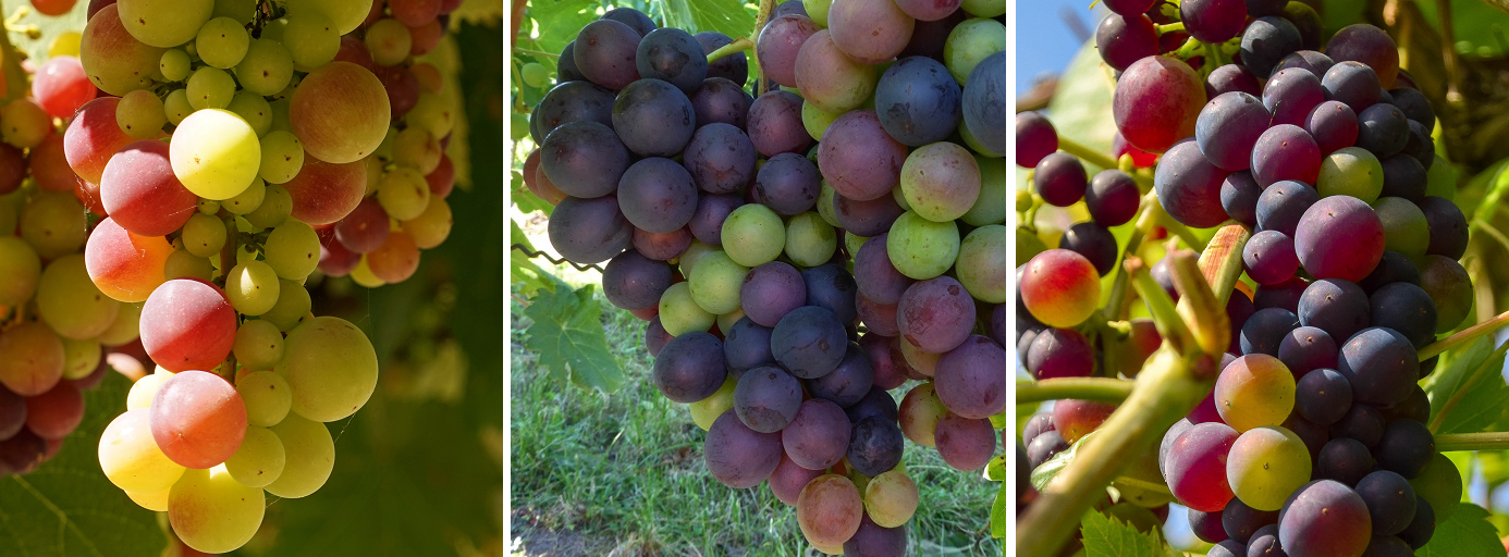 Grapes at the beginning of Véraison (color change)