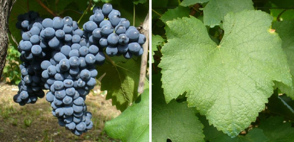 Persan (Bécuet) - grape and leaf