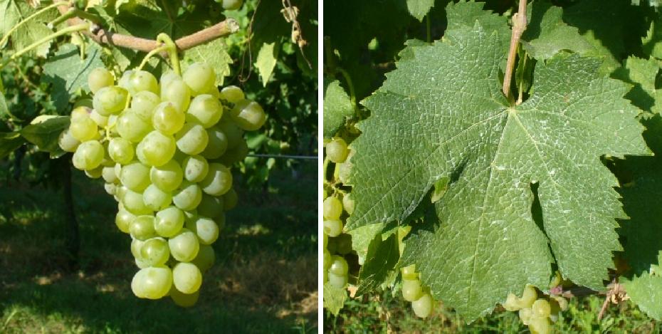 Baratuciat - grape and leaf