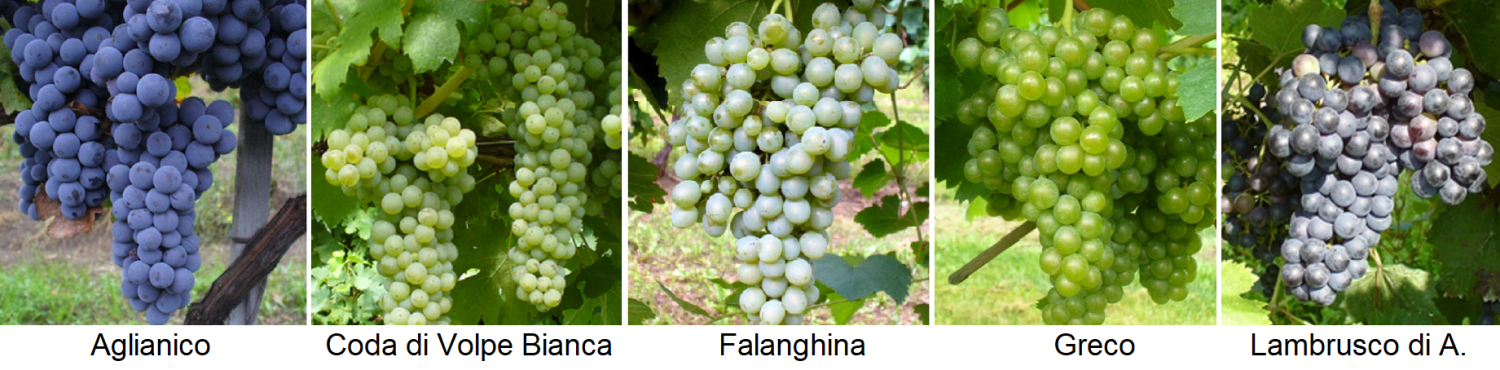Oldest grape varieties - descendants of ancient grape varieties (Aglianico, Coda di Volpe Bianca, Falanghina, Greco, Lambrusco di Alessandria