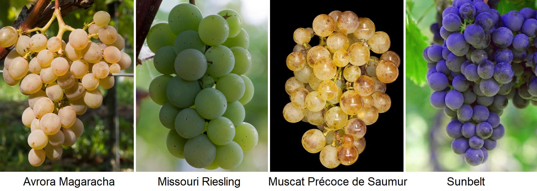 open grape varieties: Avrora Magaracha, Missouri Riesling, Muscat Précoce des Samur, Sunbelt