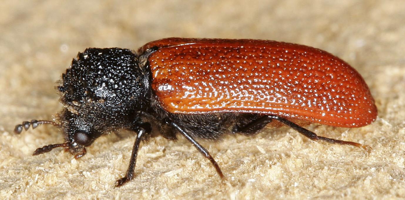 Bore beetle - Bostrichus capucinus