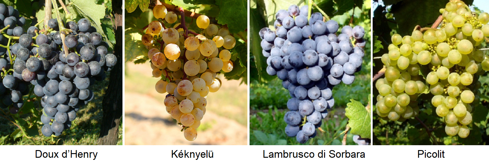 female grape varieties: Doux d'Henry, Kéknyelü, Lambrusco di Sorbara, Picolit