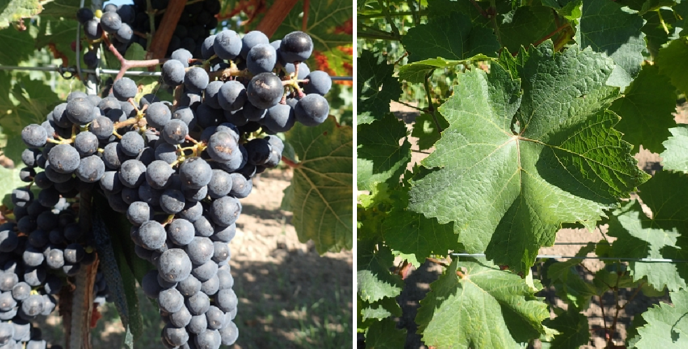 Laurot - grape and leaf