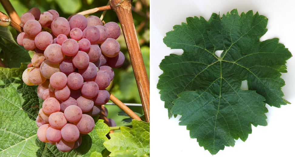 Kernling - grape and leaf