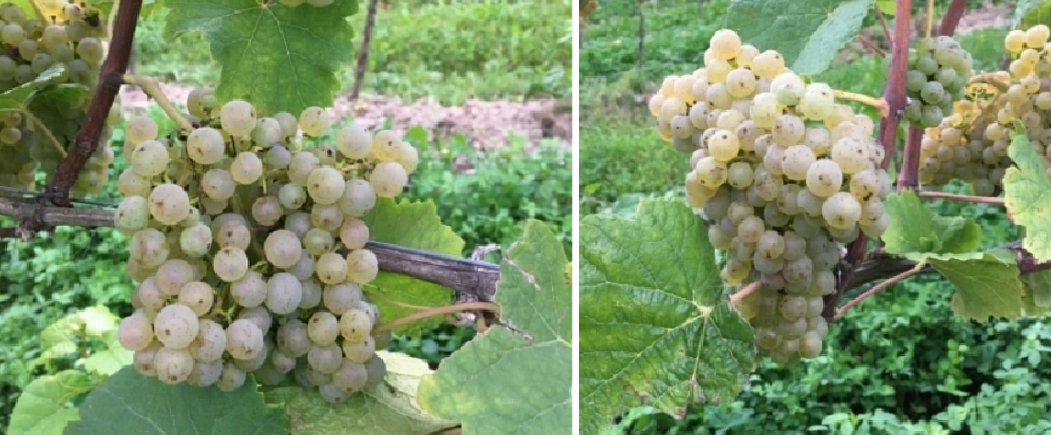 Donauriesling - grapes