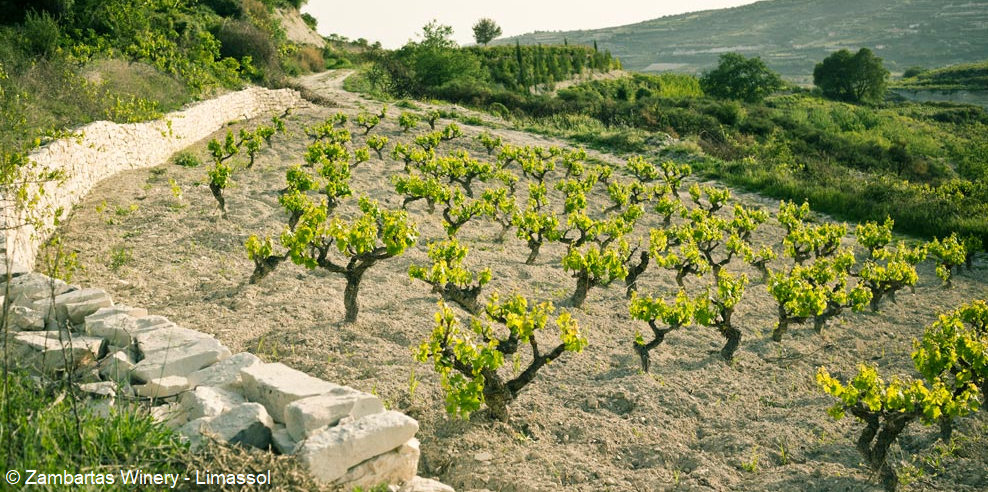 Cyprus - vineyards (shrub form) of the Zambartas winery in Limassol