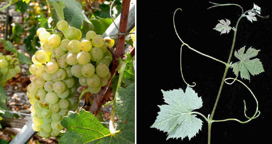 Lafnetscha - grape and leaf