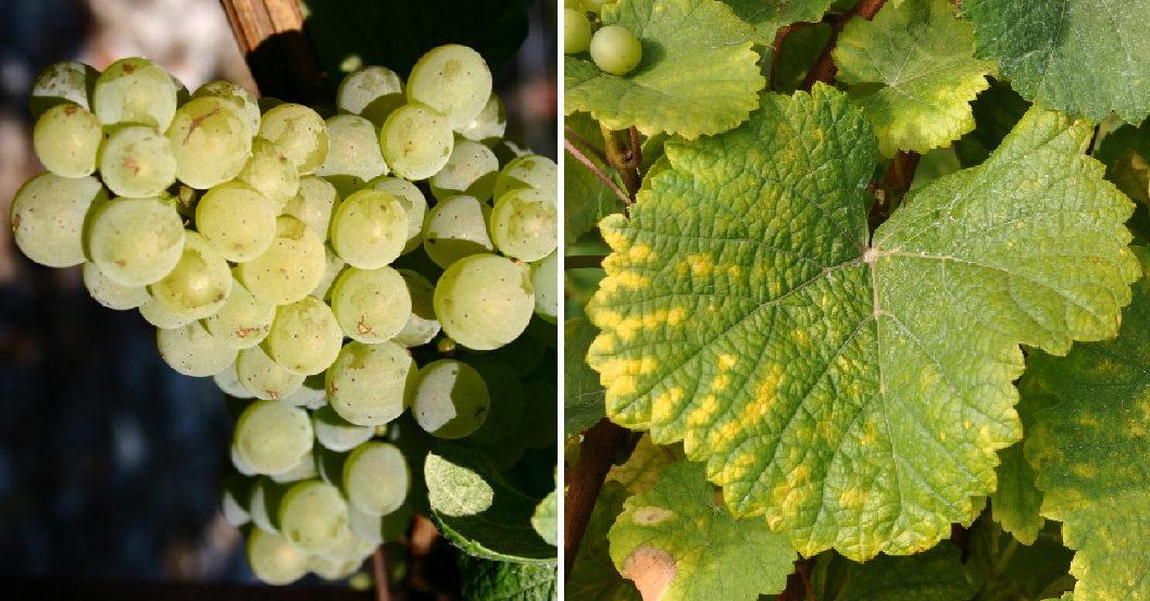 Heath (Savagnin Blanc) = Traminer - grape and leaf