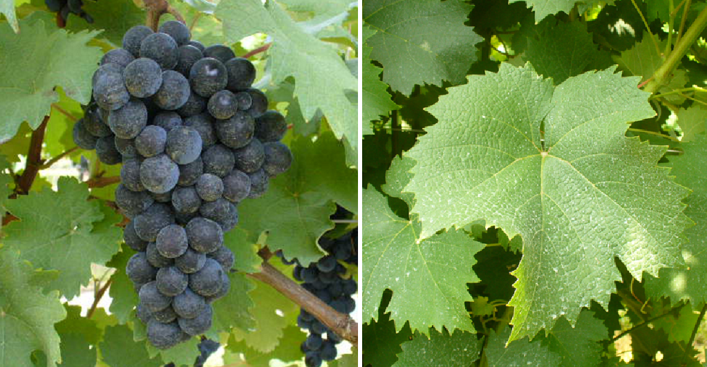 Canaiolo Nero - grape and leaf