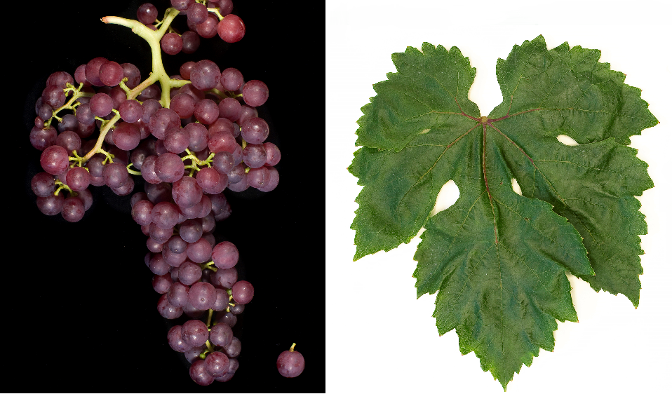 Flame Seedless - grape and leaf