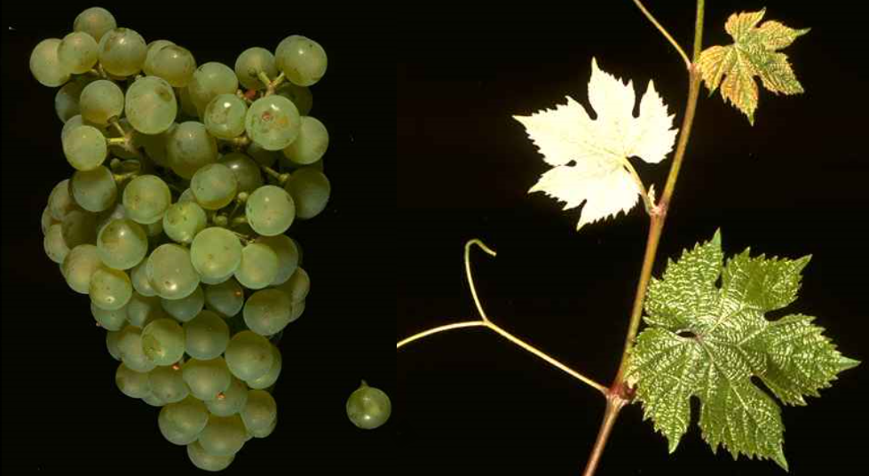 Dalkauer - grape and leaf
