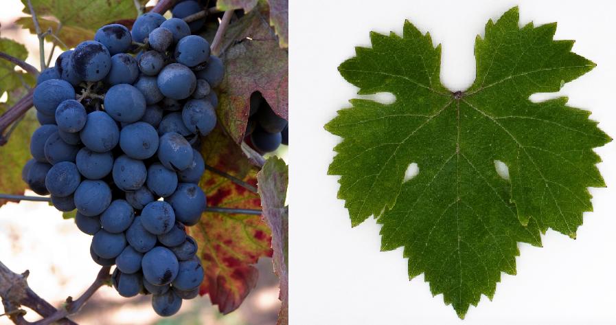 Romeiko Macheira - Weintraube und Blatt