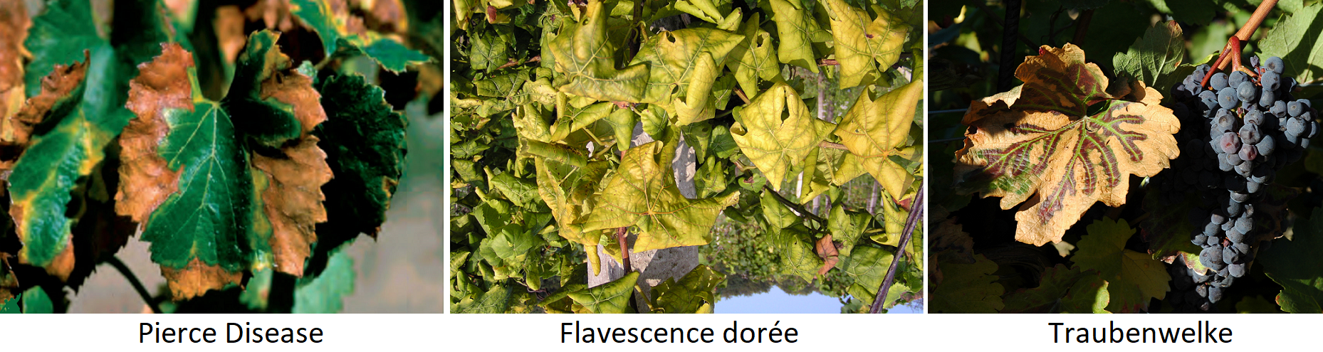 Vineyard enemies - Mushrooms: Pierce Disease, Flavescence Dorée, Grape Wither
