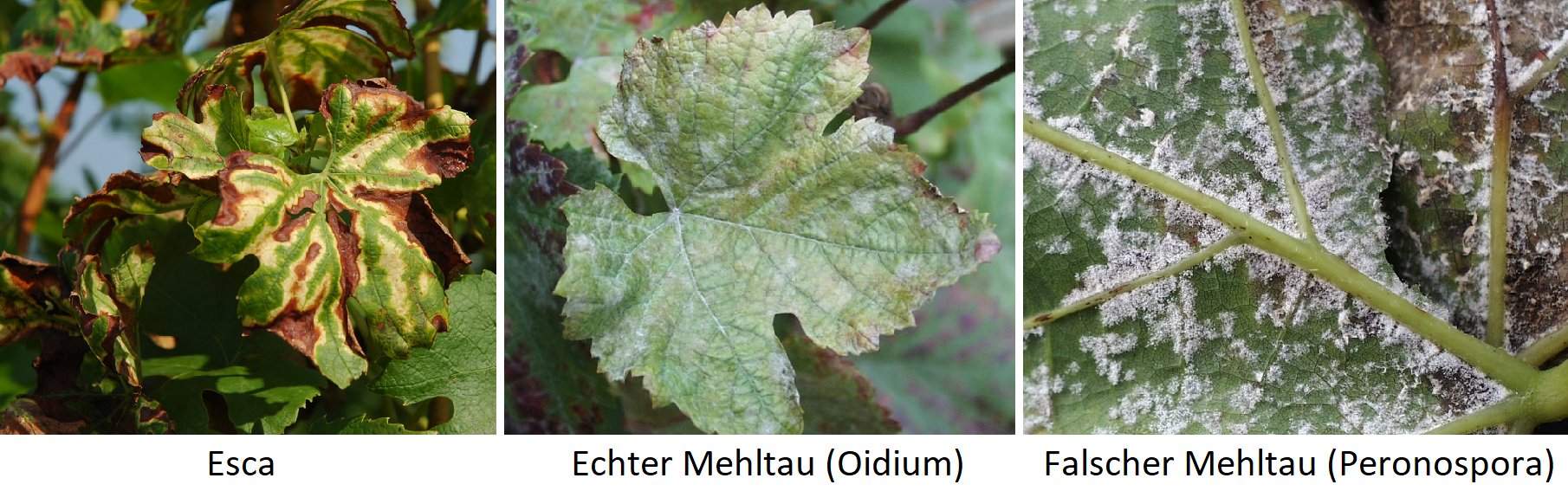 Vineyard enemies - mushrooms: Esca, powdery mildew, downy mildew
