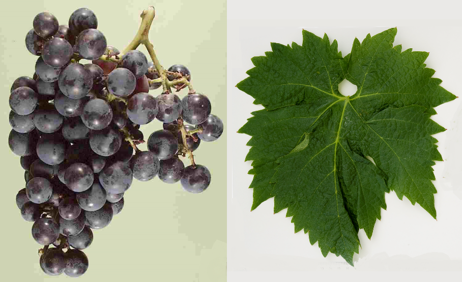 Blatina - grape and leaf