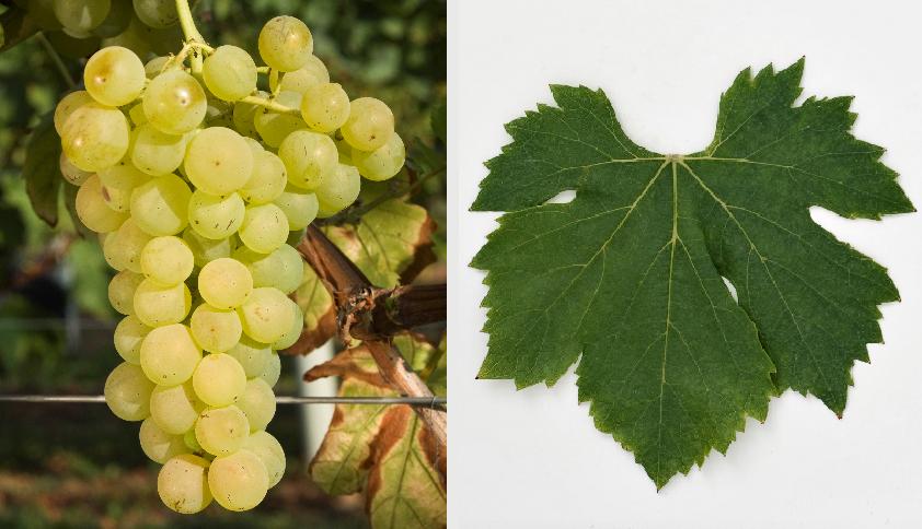 Žlahtina - grape and leaf