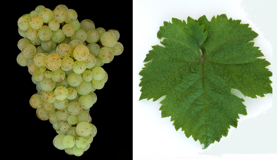 Galbenă de Odobesti - grape and leaf