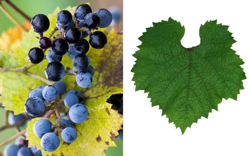 Severny - grape and leaf