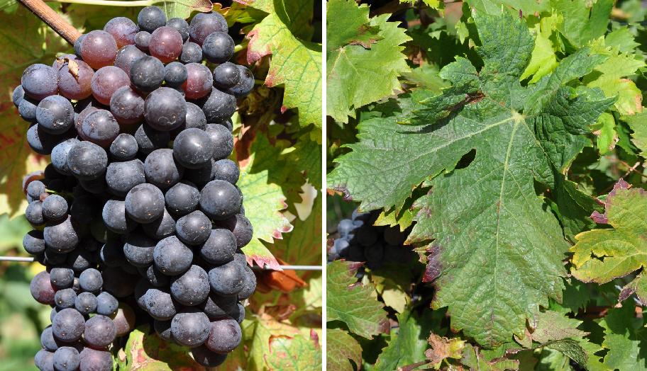 Dobričić - grape and leaf
