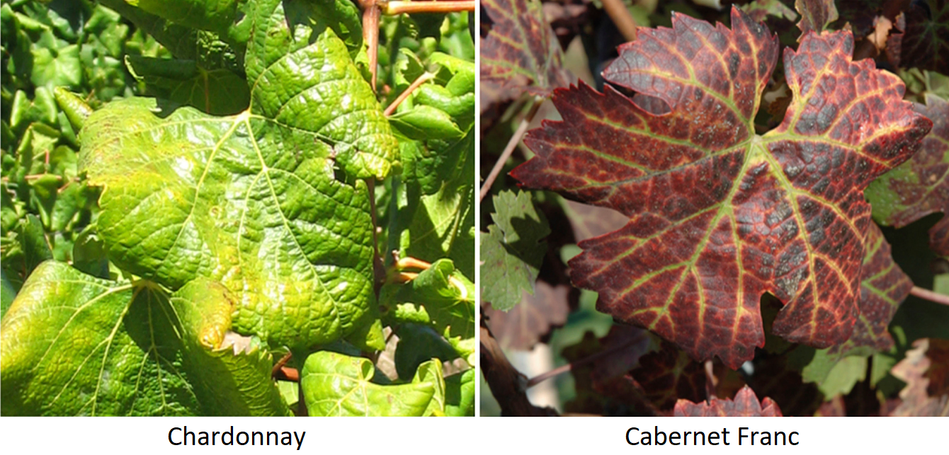 Leaf rolling disease - leaves of Chardonna and Cabernet Franc