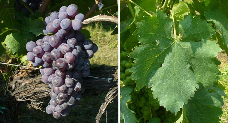 Gaglioppo - Weintraube und Blatt
