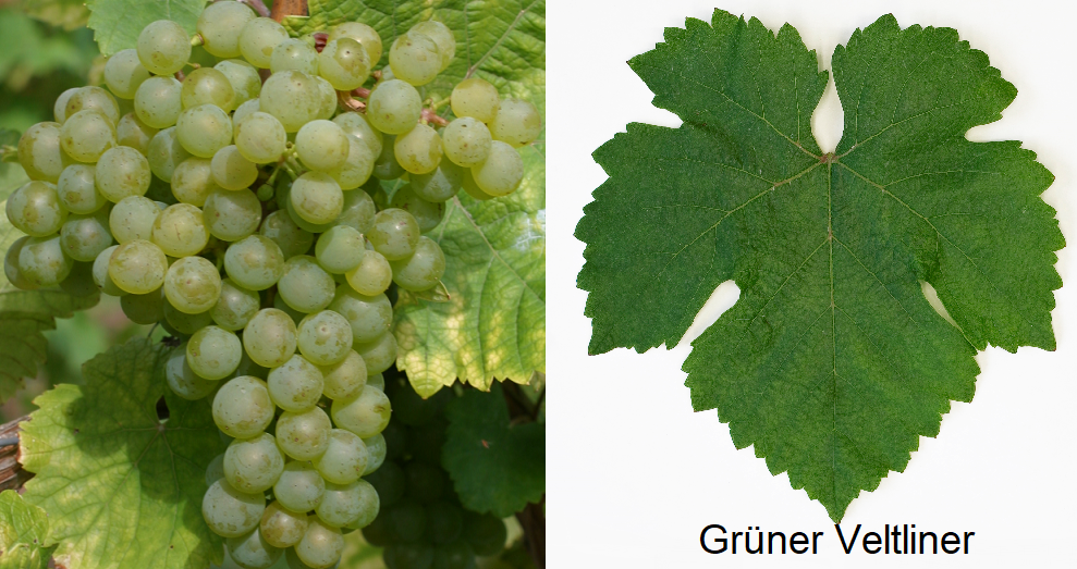 Grüner Veltliner - grapes and Baltt