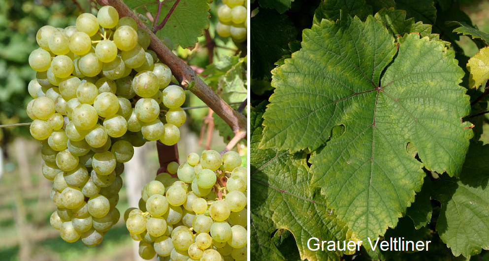 Grauer Veltliner - grape and leaf