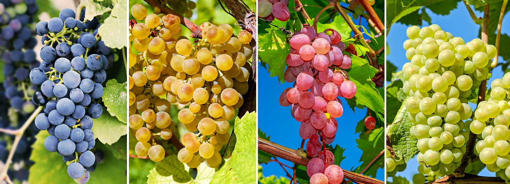 Rebsorte - Weintrauben in allen Farben (blau, gelb, rot, weiß)