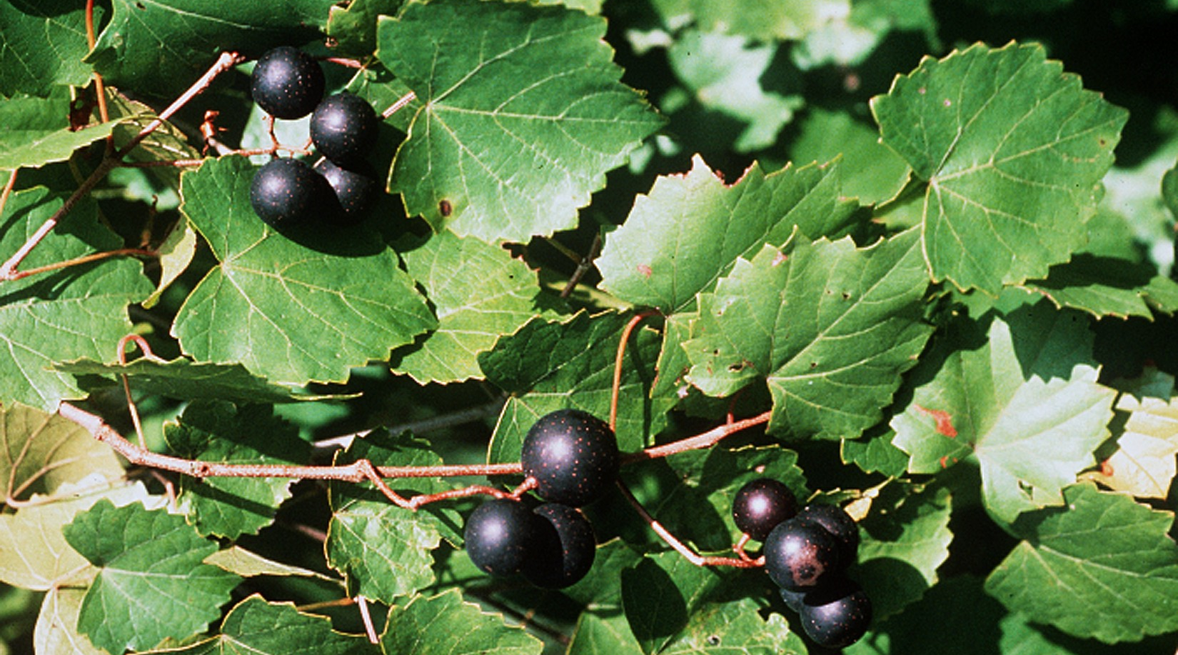 Vitis rotundifolia - grapes and leaves