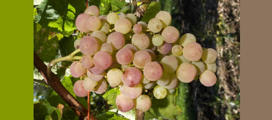 Nimrang - grape