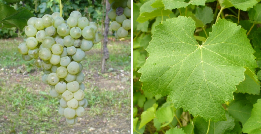 Vernaccia di Oristano - grape and leaf