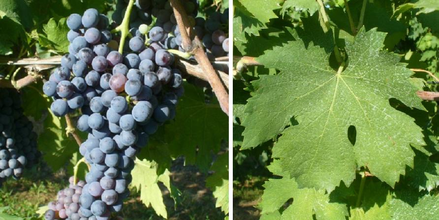Vernaccia Nera Grossa - grape and leaf