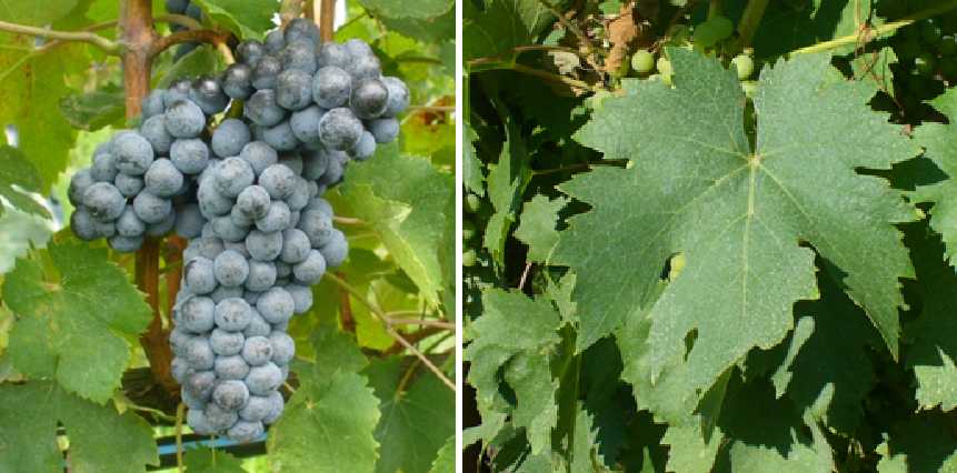 Colorino del Valdarno - grape and leaf