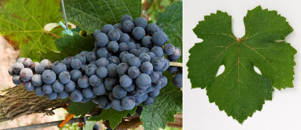 Grand Noir - Weintraube und Blatt