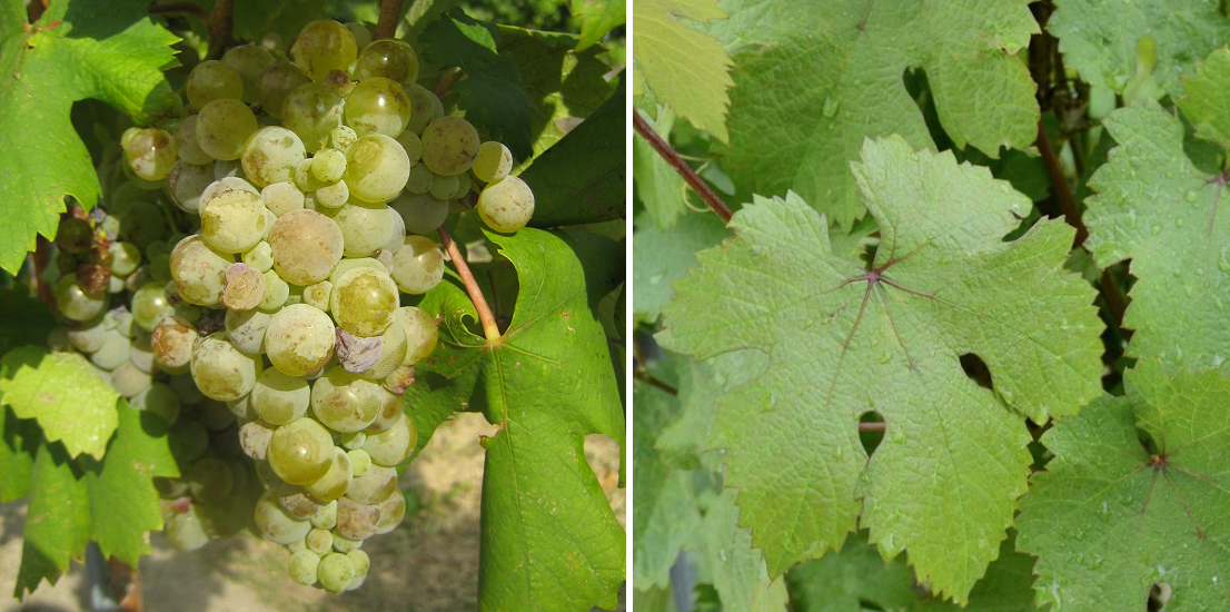 St. Georgen - bunch of grapes and leaves