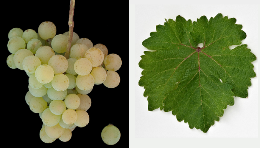 Galego Dourado - grape and leaf