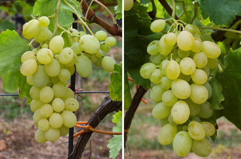 Victoria (Cardinal x Afus Ali) - grapes